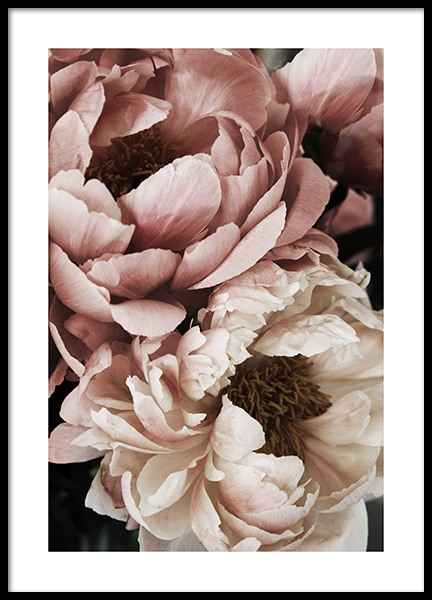 Coral Sunset Peony Poster