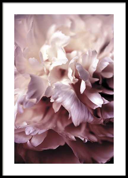Peony Close Up Poster i gruppen Posters / Fotokonst hos Desenio AB (11186)
