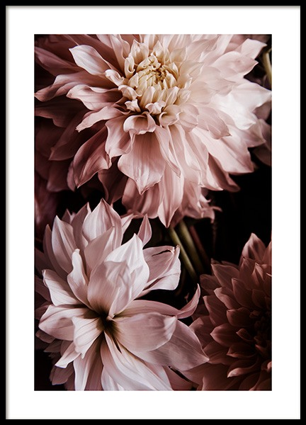 A Pair of Dahlias Poster