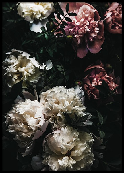 White and Pink Peonies Poster