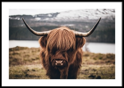 Scottish Highland Cattle Poster i gruppen Posters  / Djur hos Desenio AB (11853)