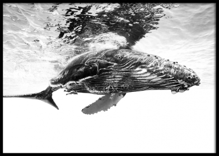 Humpback Whale B&W Poster i gruppen Posters  / Djur hos Desenio AB (12306)