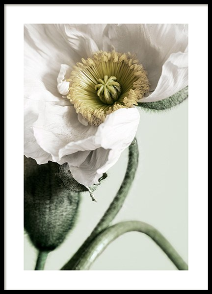 White Poppy Close Up Poster i gruppen Posters  / Botaniska hos Desenio AB (12319)