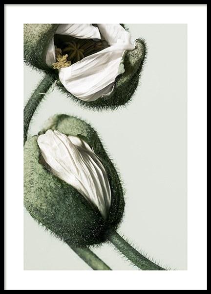 White Poppy Buds Poster