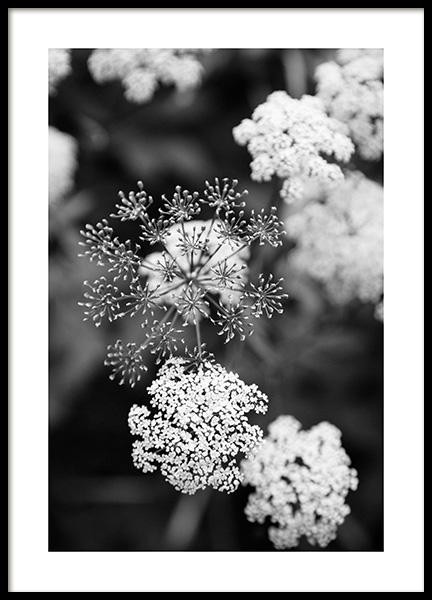 Elder Blossom Poster