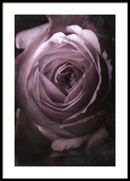 Antique Rose No2 Poster