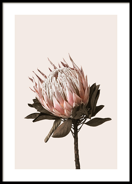 Dried Protea No2 Poster