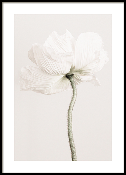 Pale Poppy Poster