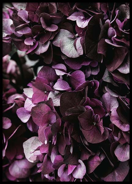 Purple Hydrangea Close Up Poster i gruppen Posters  / Botaniska hos Desenio AB (2825)