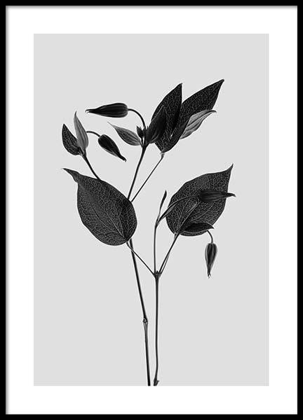 Clematic Flower Grey Poster i gruppen Posters  / Storlekar / 50x70cm hos Desenio AB (3110)