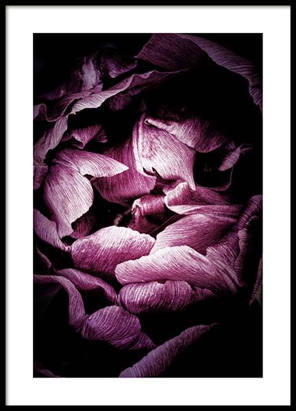 Purple Tulip Close Up Poster i gruppen Posters  / Botaniska hos Desenio AB (3535)