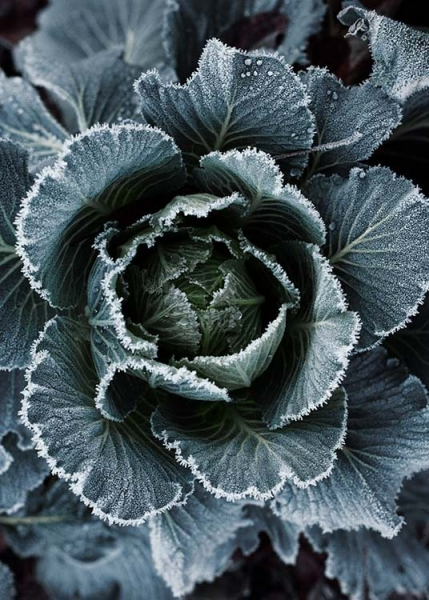 Frosty Cabbage Poster i gruppen Posters  / Fotokonst hos Desenio AB (3711)