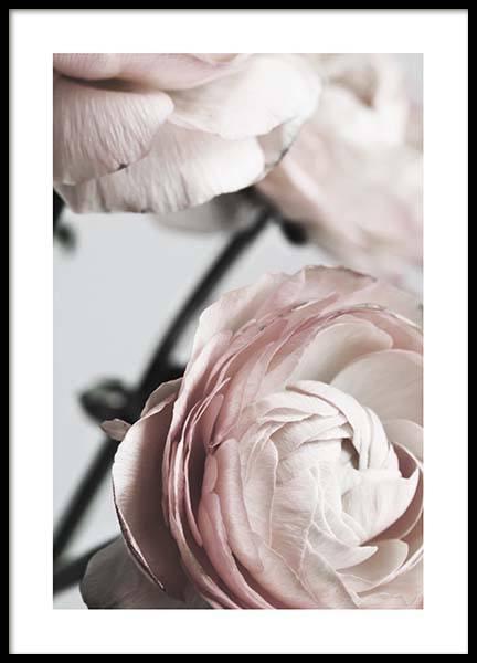 Pink Ranunculus Two Poster