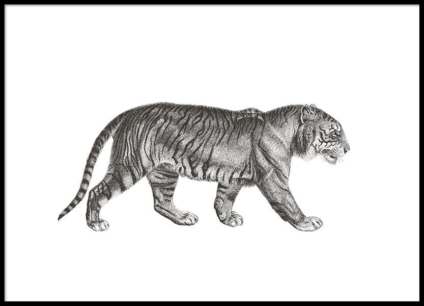 Tiger Illustration Poster