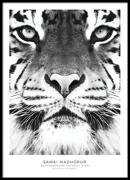 tavla med tiger svartvita posters snygga affischer och prints online. Black Bedroom Furniture Sets. Home Design Ideas