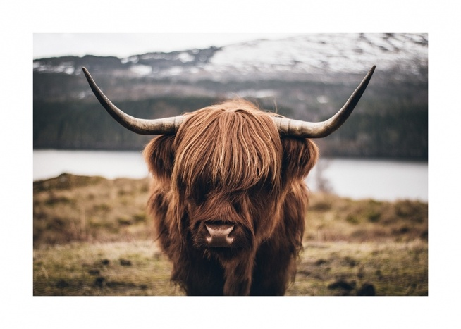 Scottish Highland Cattle Poster / Djur hos Desenio AB (11853)