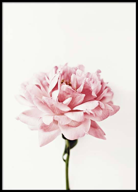 Pink peony poster - Romanian traditional houses a heartfelt feeling of beauty ...